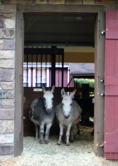 Mini mule vs  mini donkey - Free Speech Horse Forum